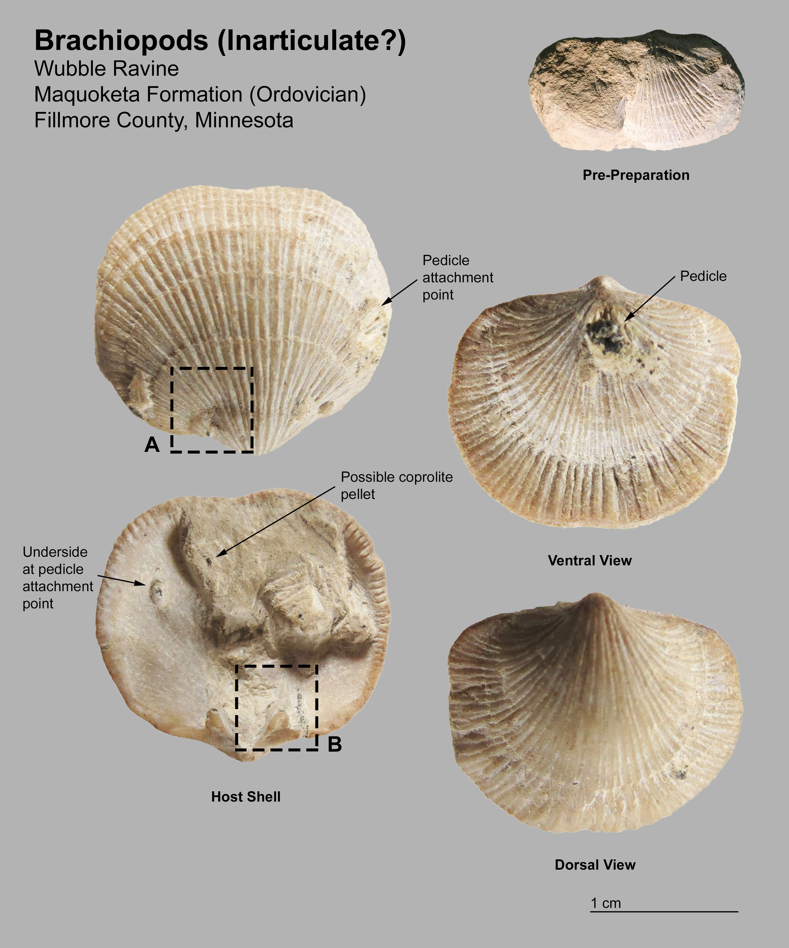 let s talk brachiopods fossil id the fossil forum