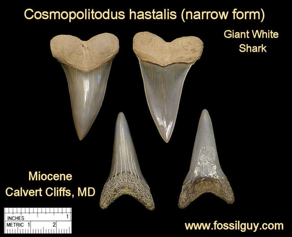 cosmopolitodus-shark-tooth.jpg