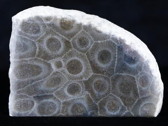 Hexagonaria Coral 'Petoskey Stone'.JPG