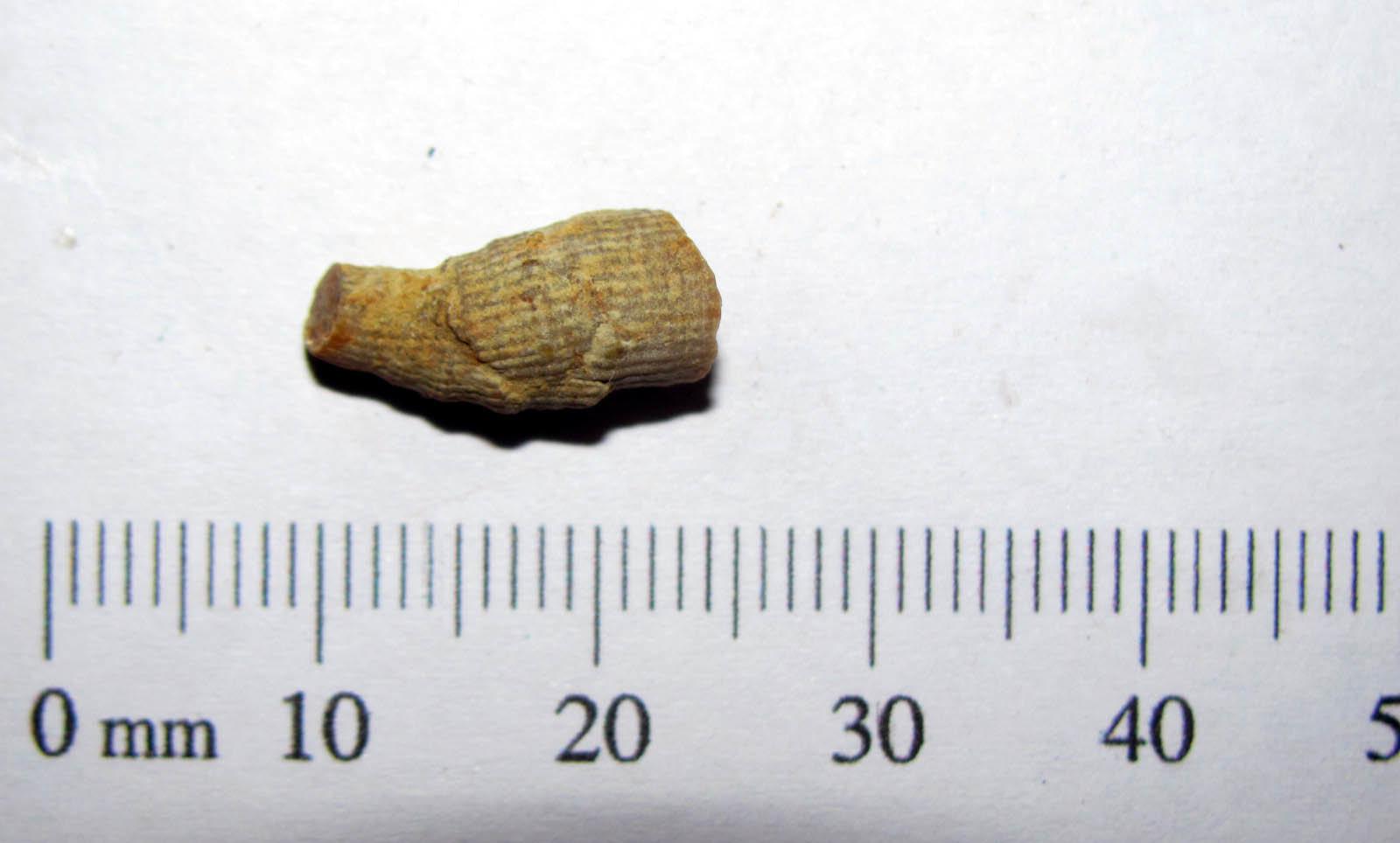 Rugose Coral - Kansas 1.JPG