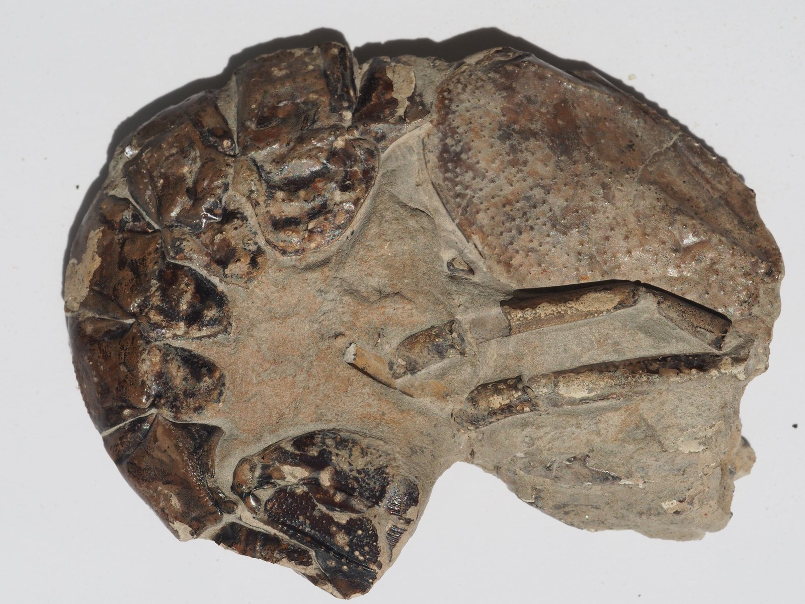 Meyeria magna M'Coy, 1848