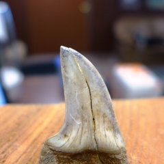 Isurus hastalis tooth, Mako Shark 1.jpg