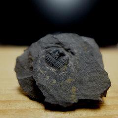 Bergamia prima Trilobite 1.jpg