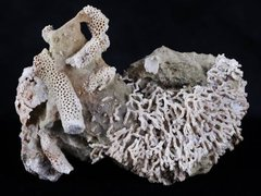 THOMNOPORA SP & SYRINGOPORA SP CORAL FOSSIL CORAL REEF DEVONIAN AGE NEW FIND PAYSON AZ 1.JPG