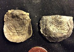 Orthid Brachiopods from the Kalkberg Formation