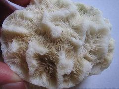 Manicina Coral 4a.JPG