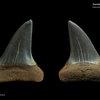 Carcharodon hastalis 02
