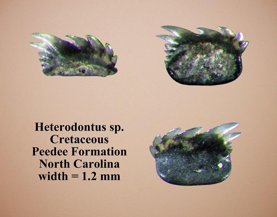 heterodontus juvenile.jpg