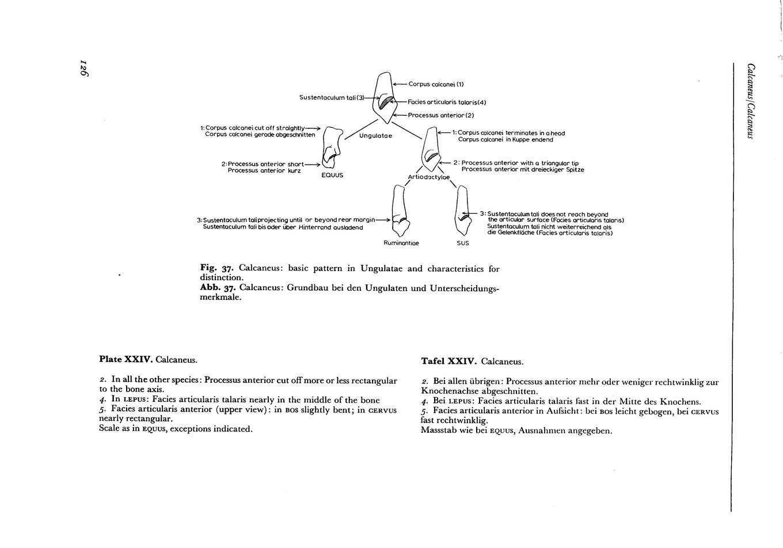 Calcaneus_text.thumb.jpg.ee658623bac90e1fd068942f0324ad03.jpg