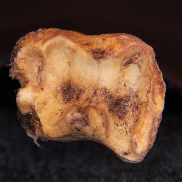 Domestic-goat-Capra-hircus-left-tibia-distal-articular-surface-FLMNH-EA-Cat.-No.-Z7954-600x600.jpg.83f9b88dce61c8cb62f7c1b6fd7b6b51.jpg