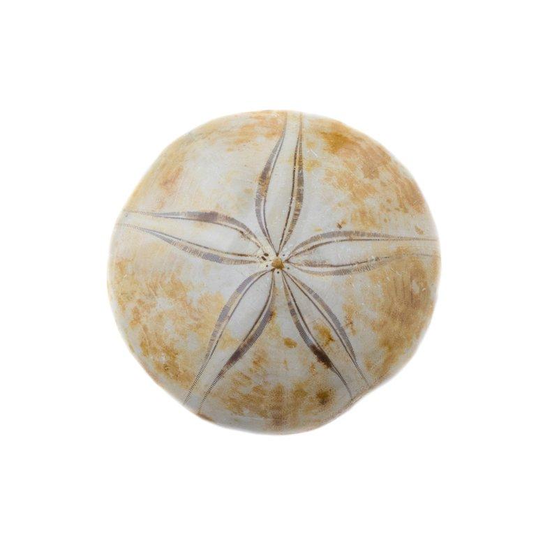 Echinoid_Sand_Dollar_Fossil_2048x.thumb.jpg.a992ea56943927ddef208302f6c2429b.jpg