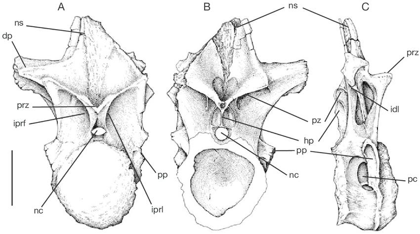 FIG-14-Mapusaurus-roseae-n-gen-n-sp-cervicodorsal-vertebra-MCF-PVPH-10882.png.896c885dcae97e7e1a16771737765abe.png