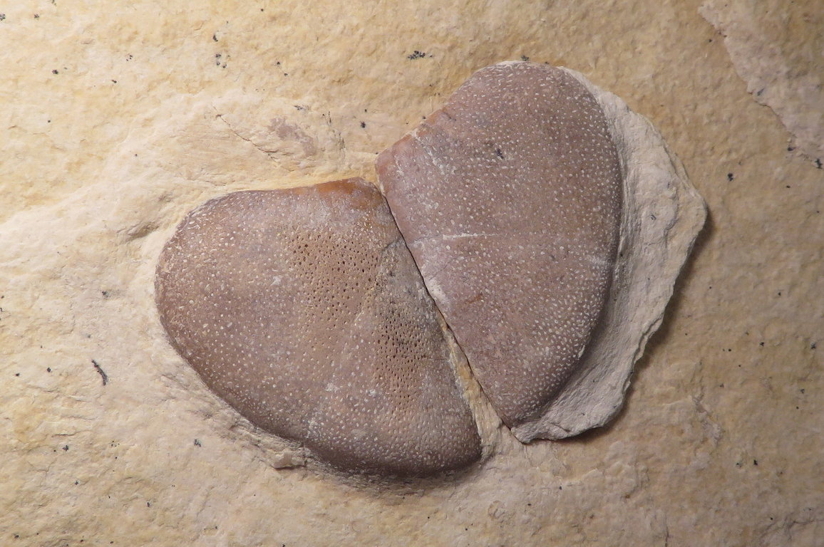 Laevaptychus.thumb.JPG.cc27a1c0a3c6d4732fc3fcc503449c33.JPG