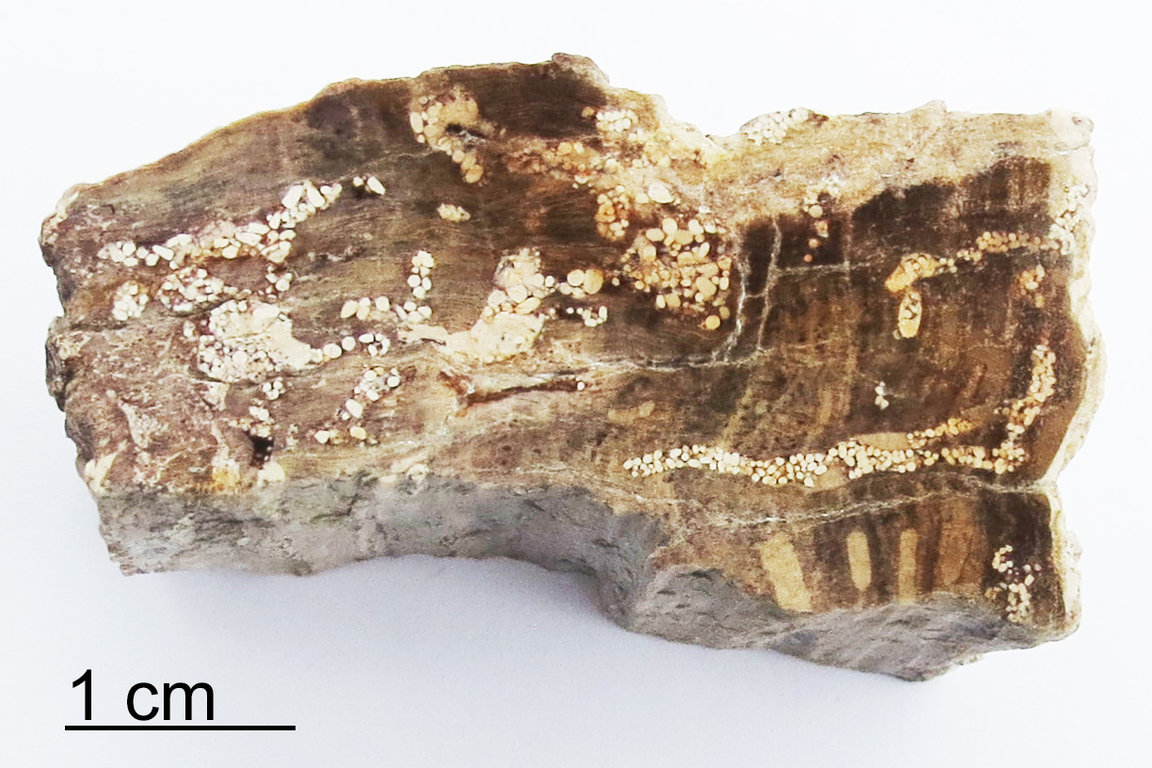 Termite-Coprolite-Petrified-Wood-Aachen-Germany-2a-small.jpg