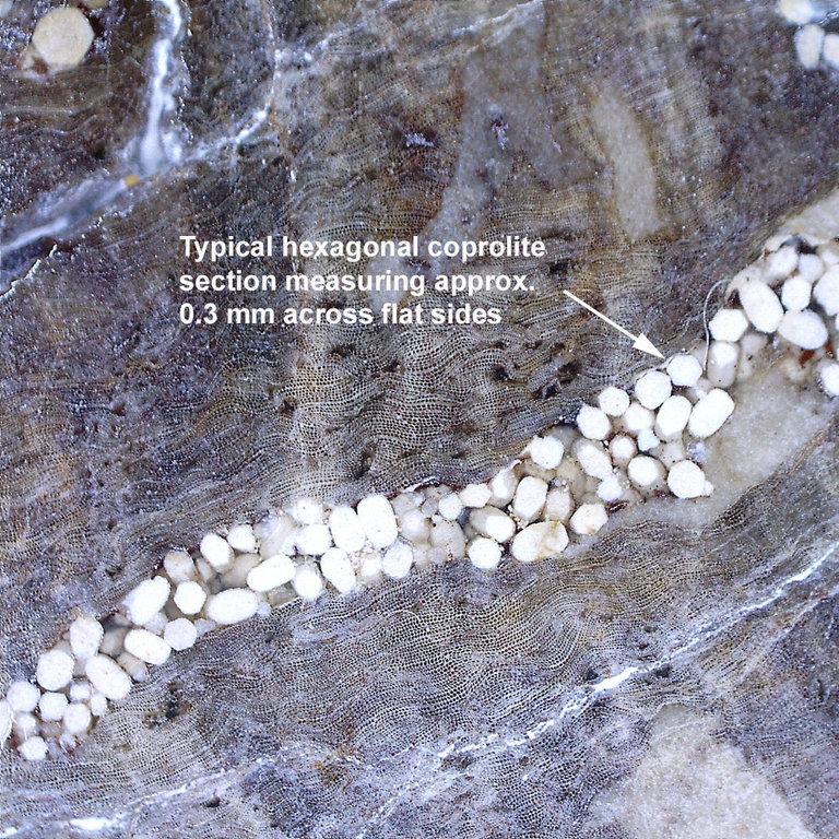 Termite-Coprolite-Petrified-Wood-Aachen-Germany-Micro-1-small.jpg