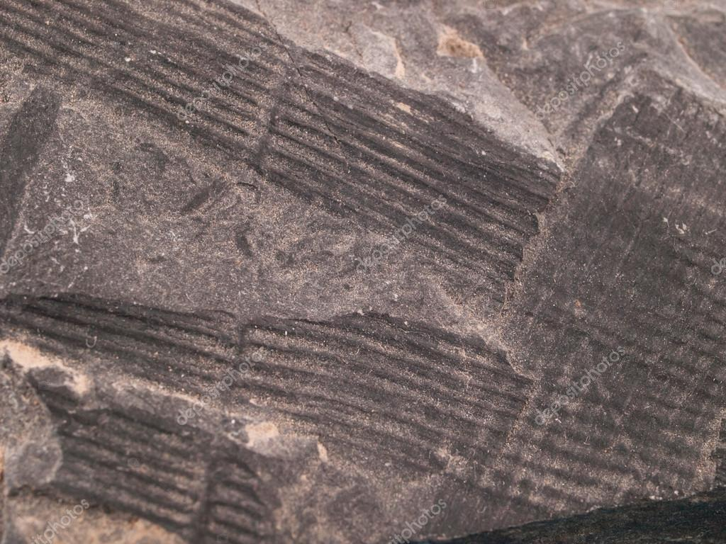 depositphotos_119078388-stock-photo-calamites-fossil-from-the-early.jpg