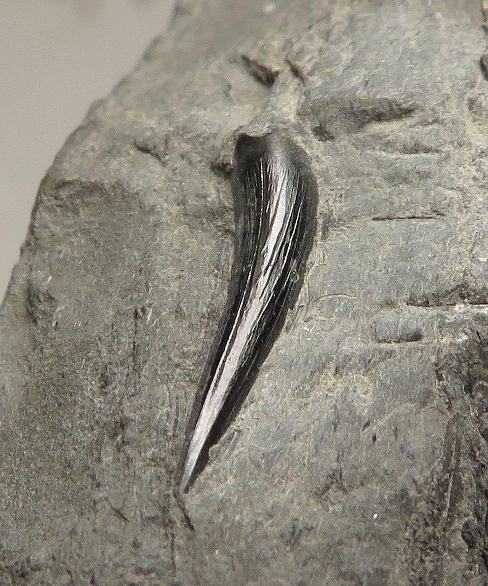 Steneosaurus tooth