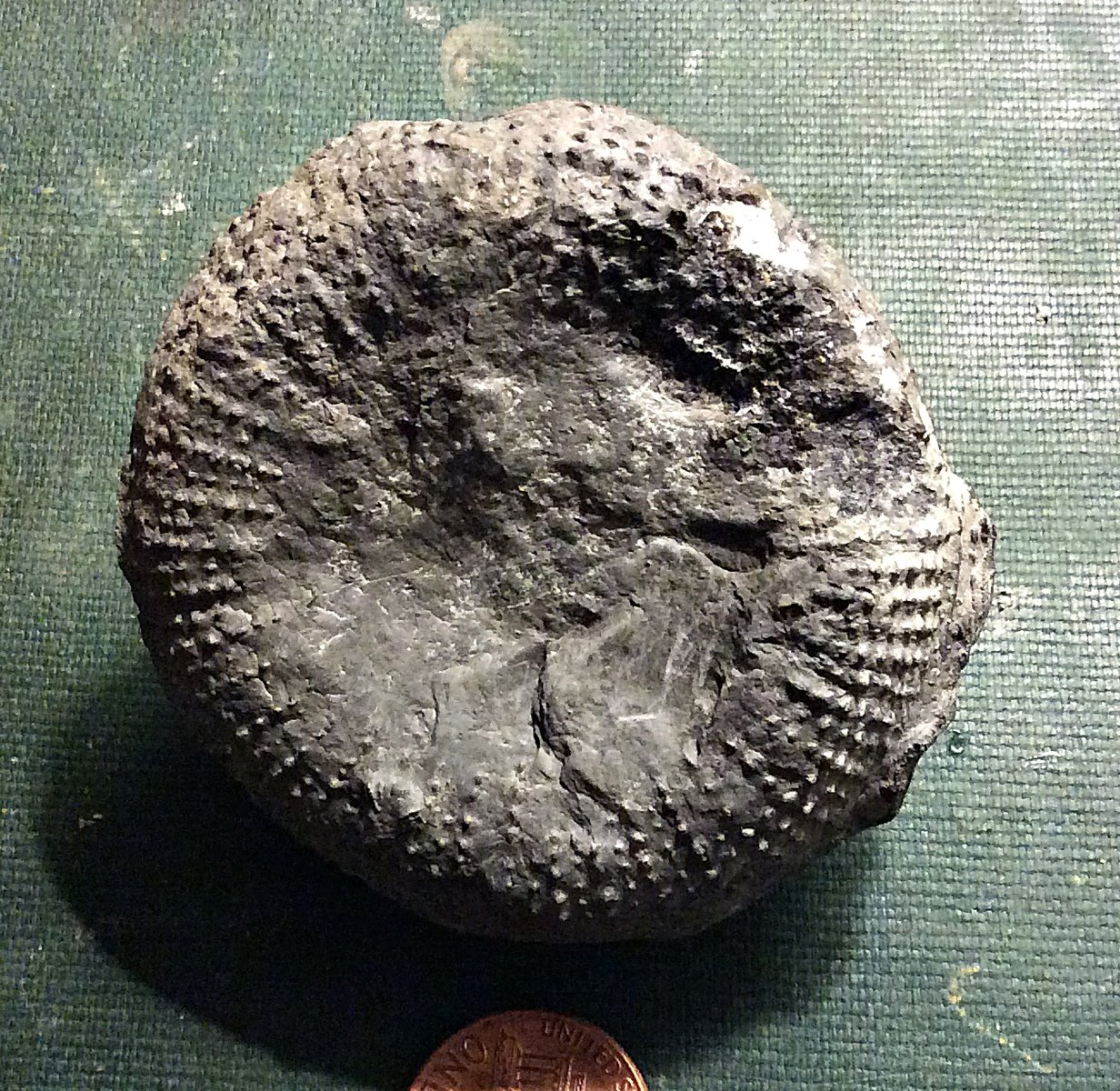 Middle Devonian Rugose Coral from Genesee County, N.Y.