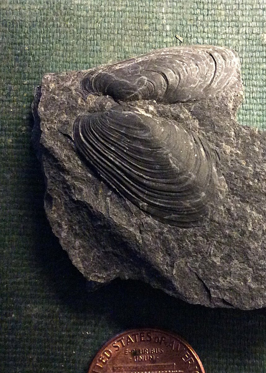 Modiomorpha (both valves) from Deep Springs Road, Madison CO., N.Y.