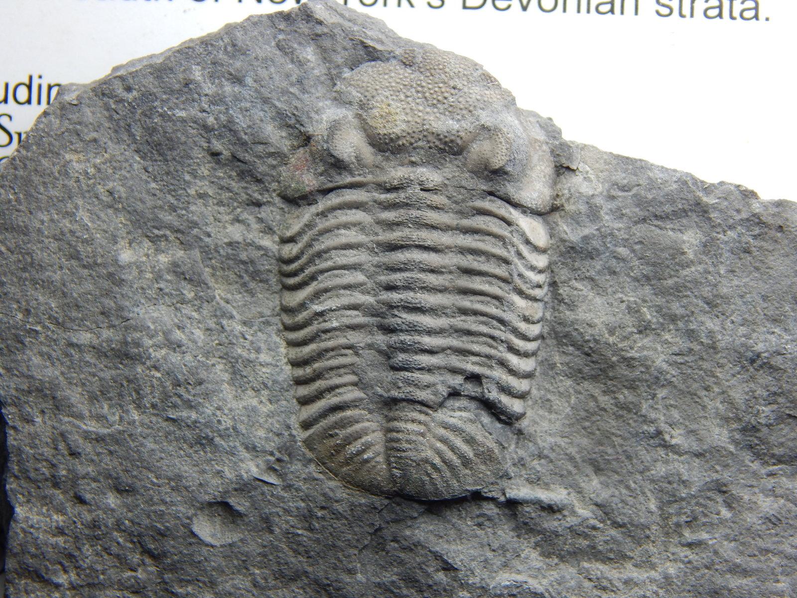E. rana