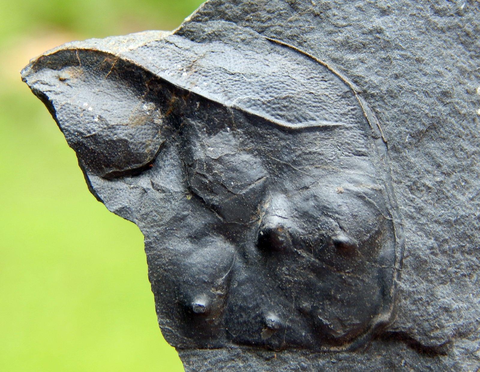 Echinocaris partial
