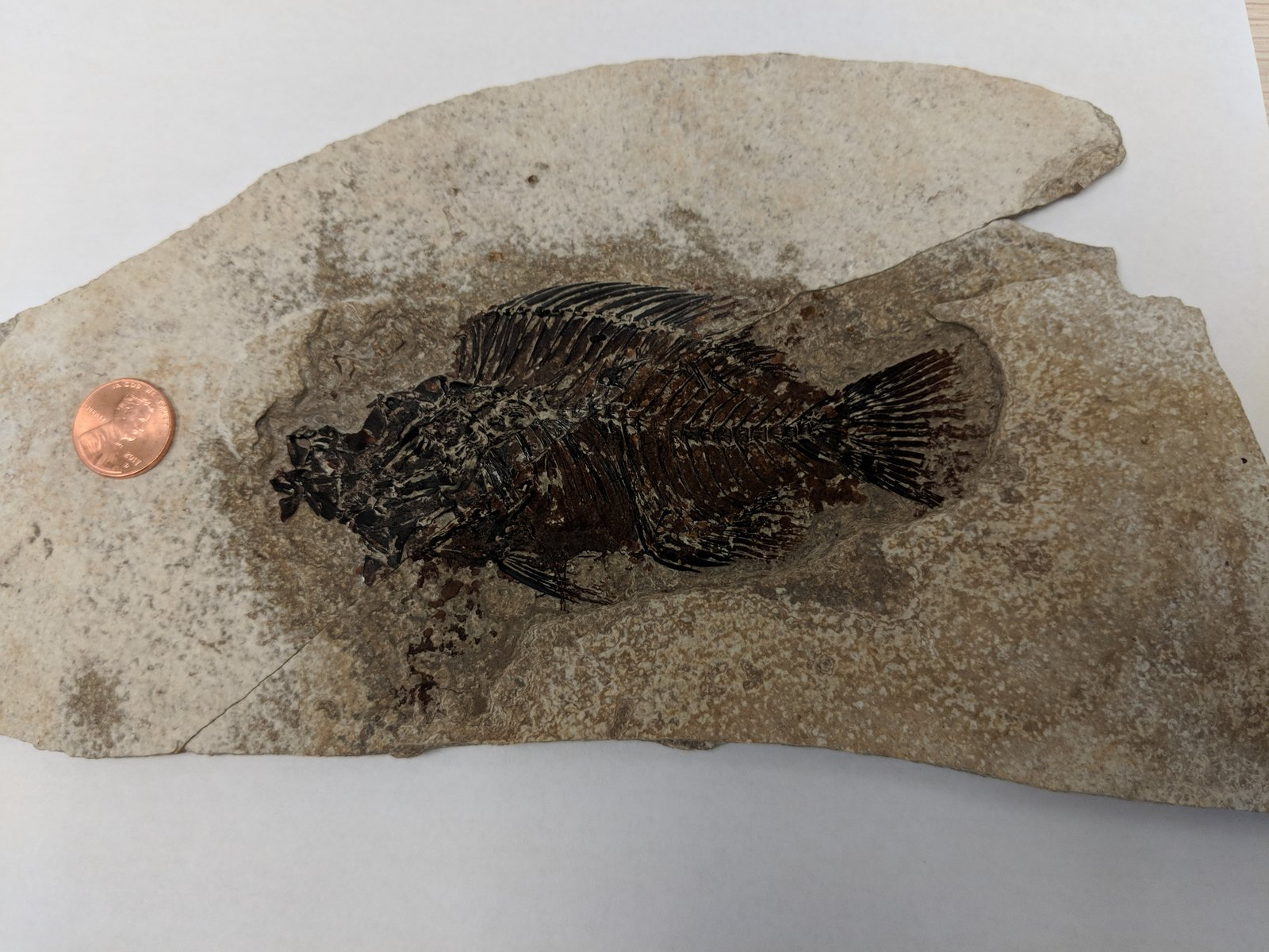 Split specimen from Green River in WY. Fossil seen in between layers.