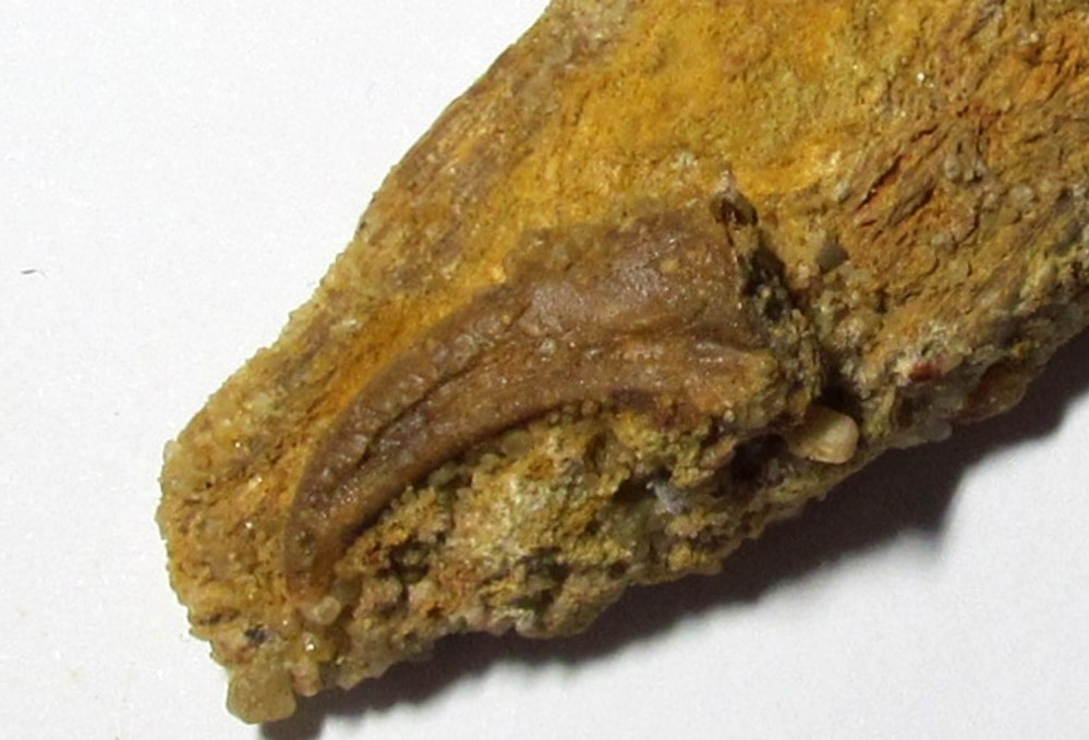 5b6c194f7dada_dent-de-pterosaure-siroccopteryx-morocensis(2).jpg.2bb0ade17a0fba6a5f6f54835ae322c5.jpg
