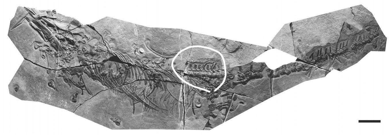 5b7807fd1962a_Xinpusaurusxingyiensis.thumb.jpg.8cdc9d8b1f639bbf7a50b19c7da54a94.jpg