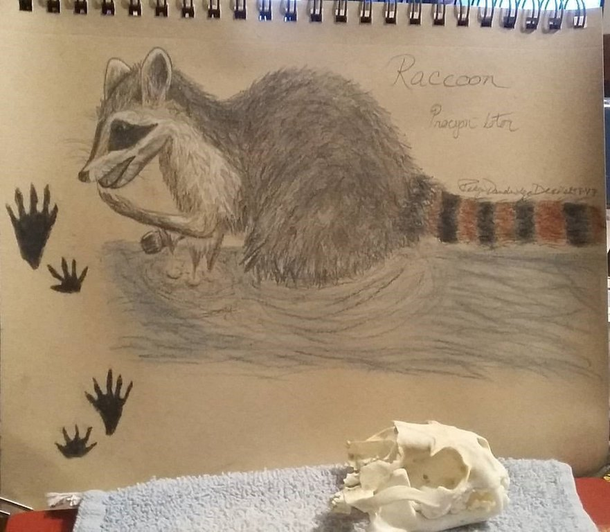 raccoon drawing and skull.jpg
