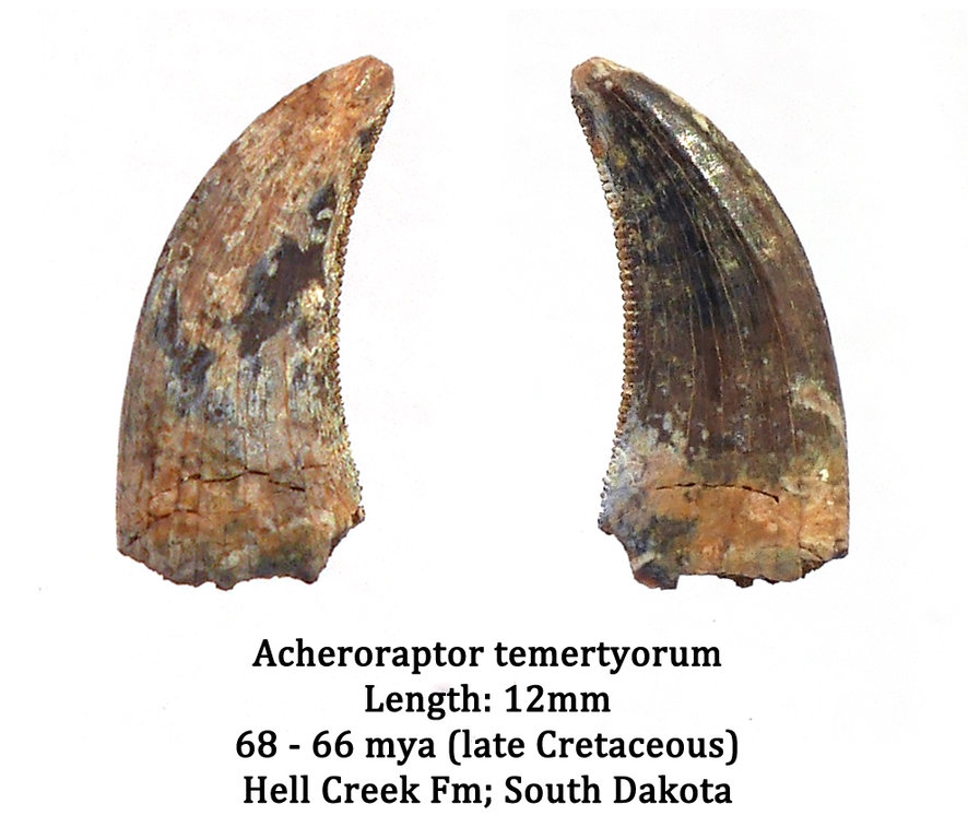 5b83ec535afe7_Acheroraptor2.thumb.jpg.f5ae60d2a6a2cf230c21c1c9a724f061.jpg