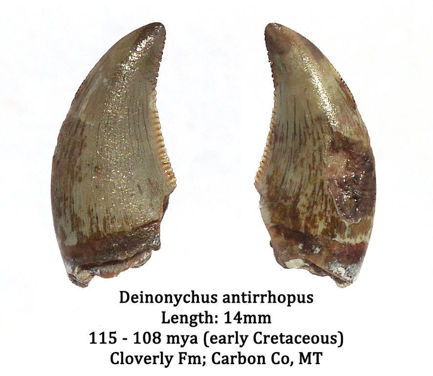 Deinonychus.thumb.jpg.480f2d901439cb51094e8b2467e5c281.jpg