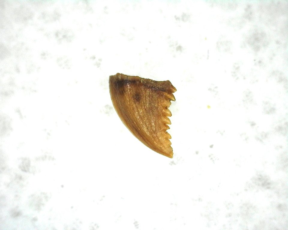 cretaceous-montana-troodon-dinosaur-tooth-1a.jpg