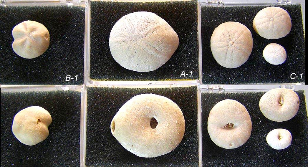 echinoids_12_BAC1.JPG
