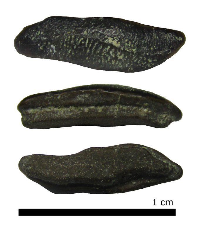 heterodontus.thumb.jpg.4a319bffd1ec4c1297ab9ea7f38e371e.jpg