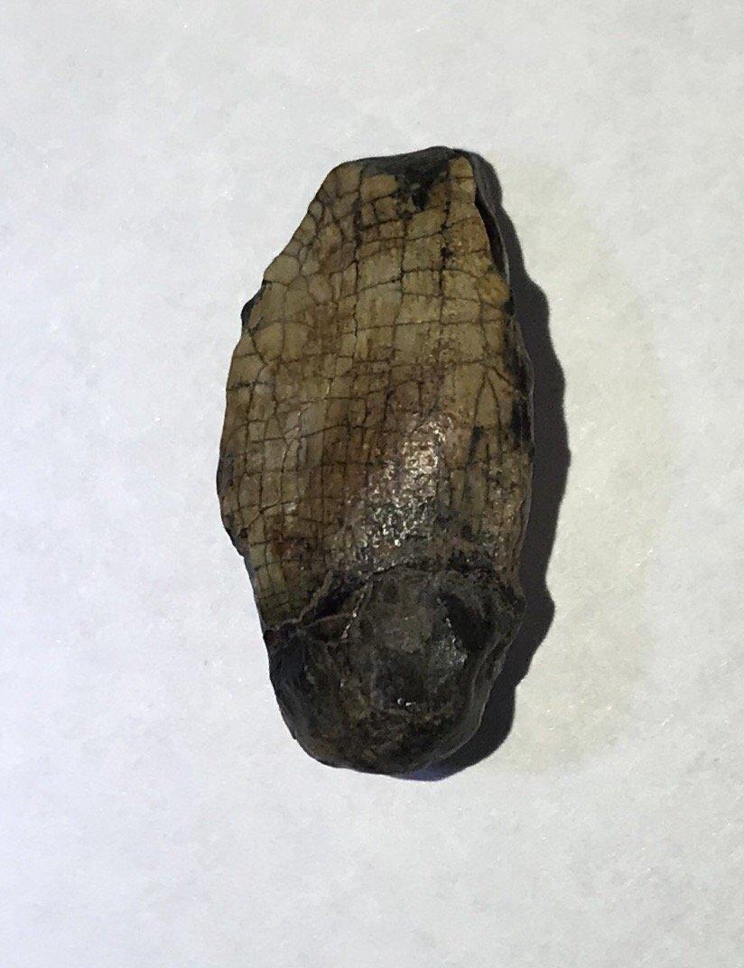 Jobaria tiguidensis