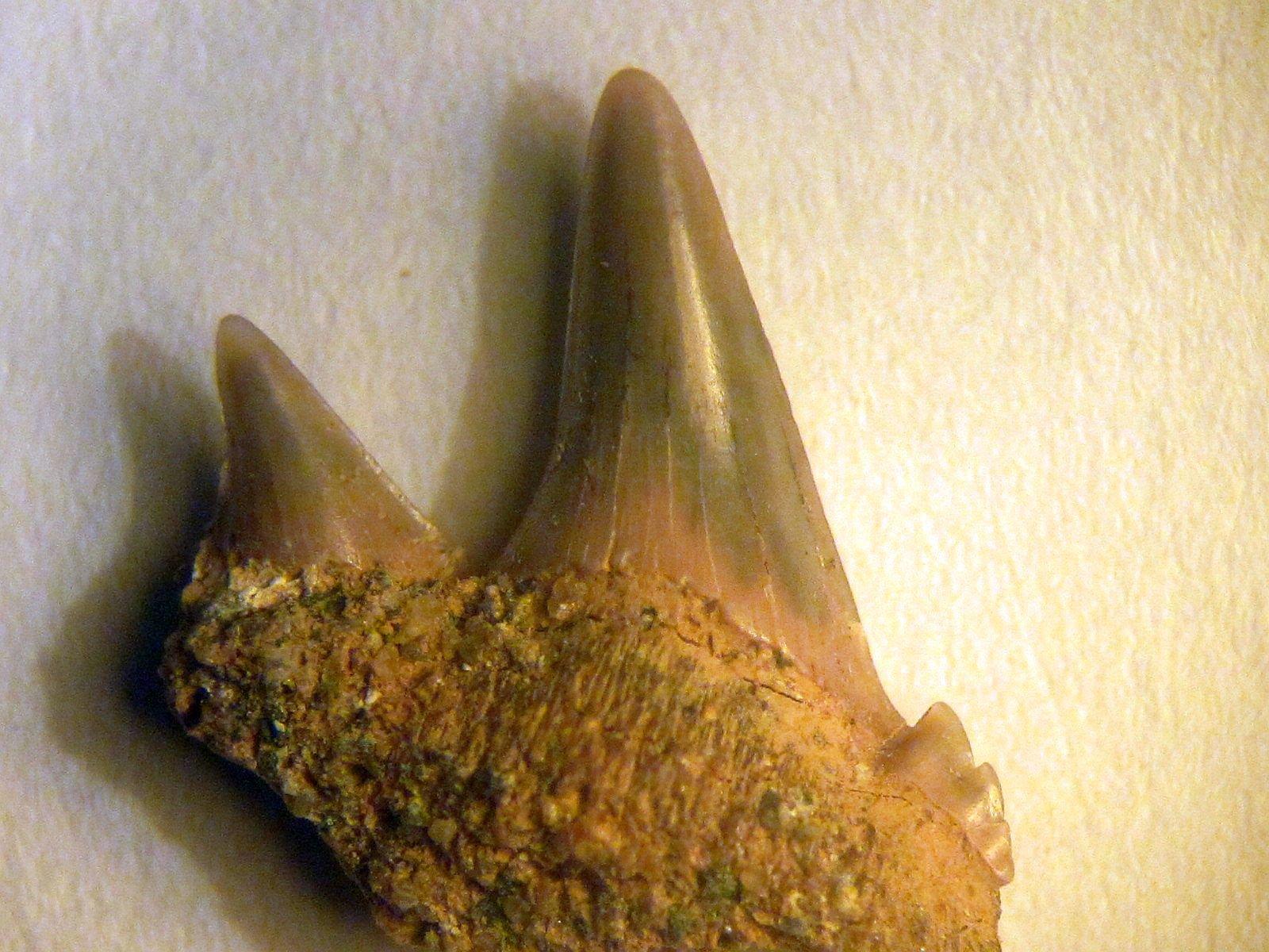 Notorynchus primigenius (Agassiz 1835/43)