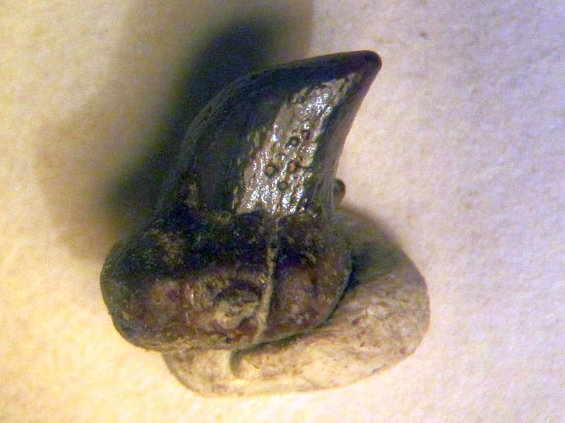 Cetorhinus sp. ? (Blaineville 1816)
