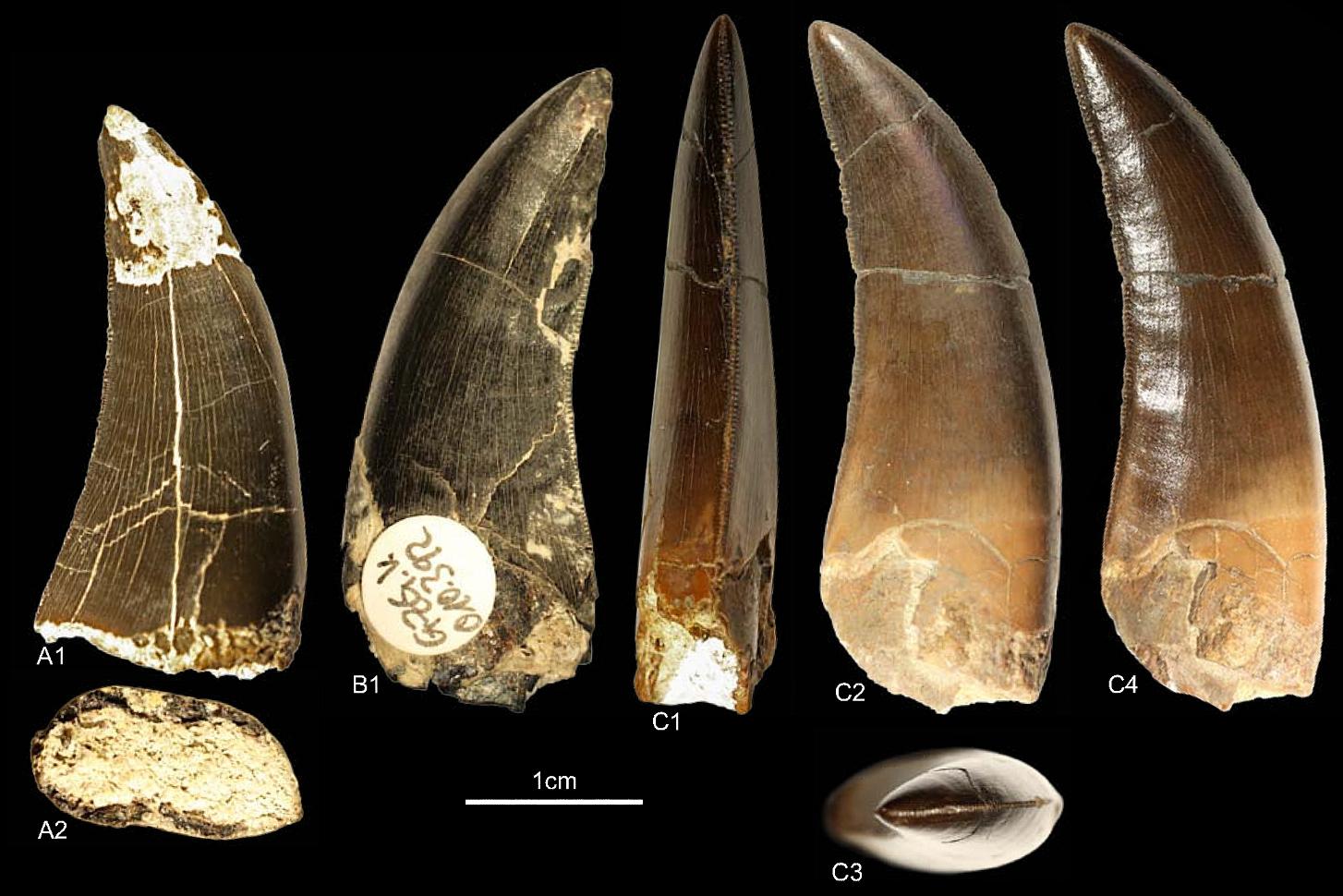 identification of marshosaurus teeth general fossil