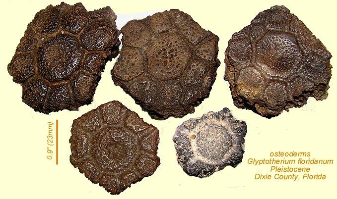glyptodontosteoderms5.jpg.79525fd26c1935441f8302c58c502e73.jpg