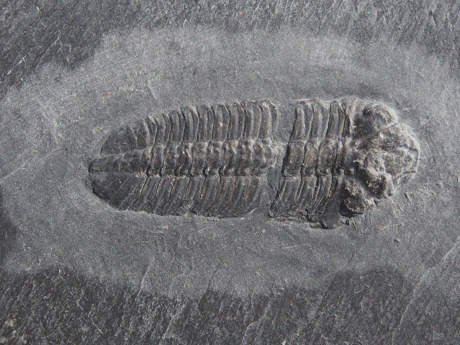 Trilobite non det