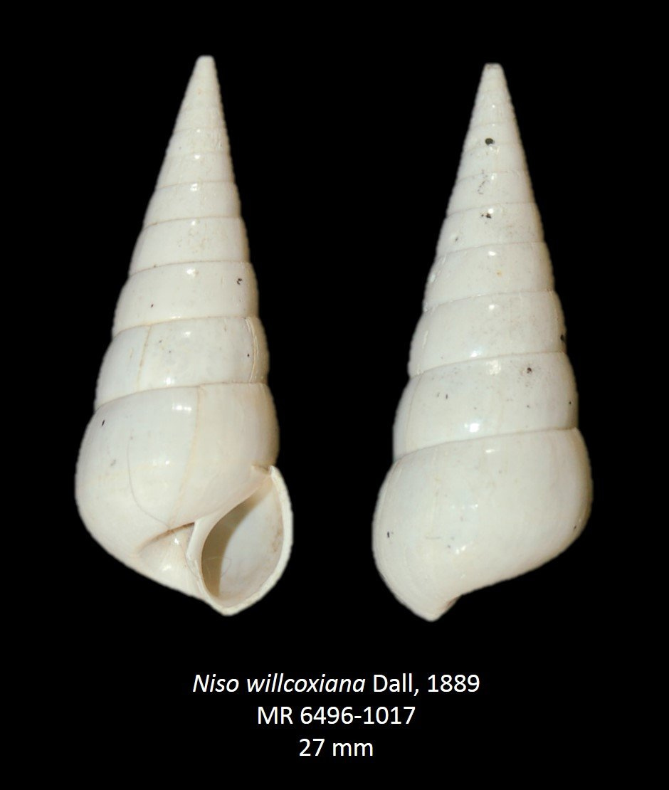 Niso willcoxiana