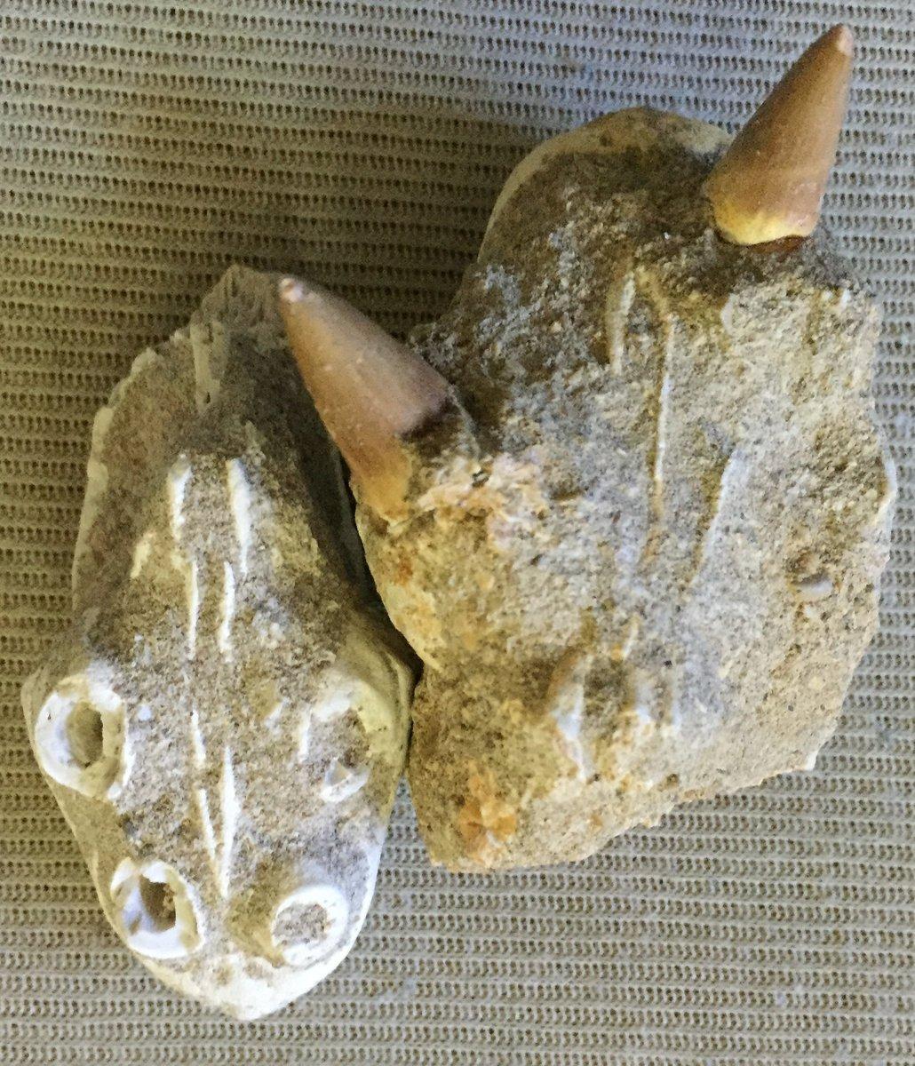 Mosasaur premaxillary underside with teeth