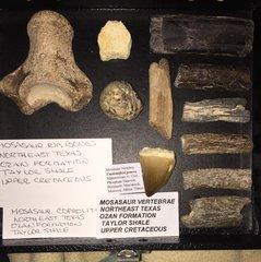 Mini Mosasaur collection