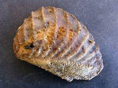 Myophorella clavellata (Parkinson 1811)