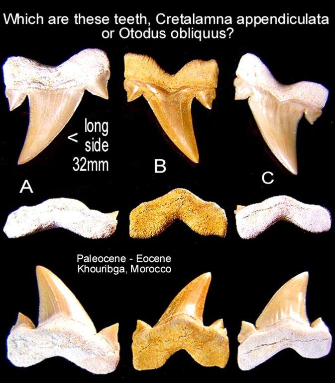 5bbb74bf2d68b_shark_cretalamnaorotodus.thumb.jpg.1dd96e1db6b8d8feec20938e41ee5391.jpg