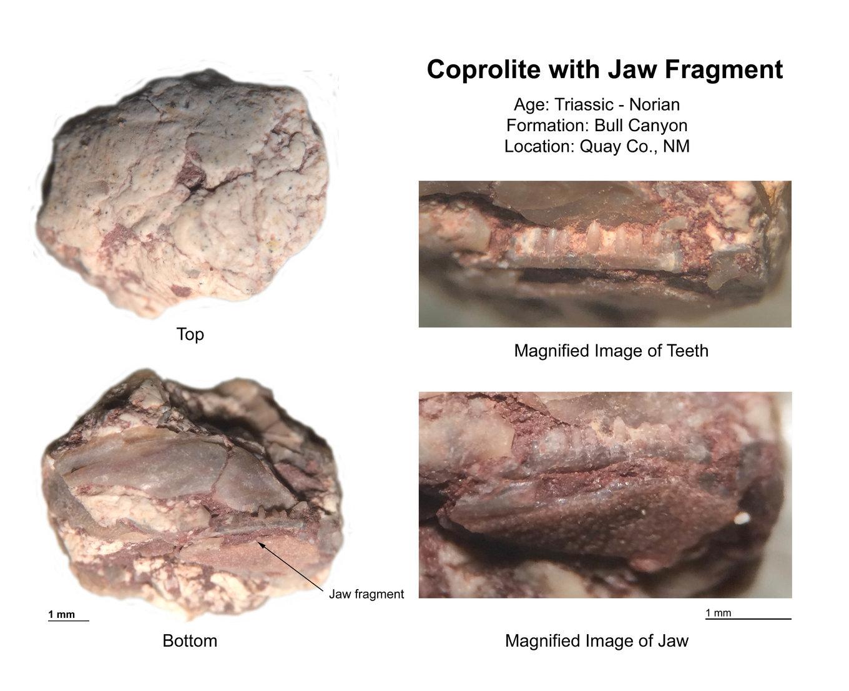 Coprolite-Jaw-Teeth-Bull-Canyon-Formation-New-Mexico-2-small.thumb.jpg.23d7703ec0af7b62cc068ef94f3a9333.jpg