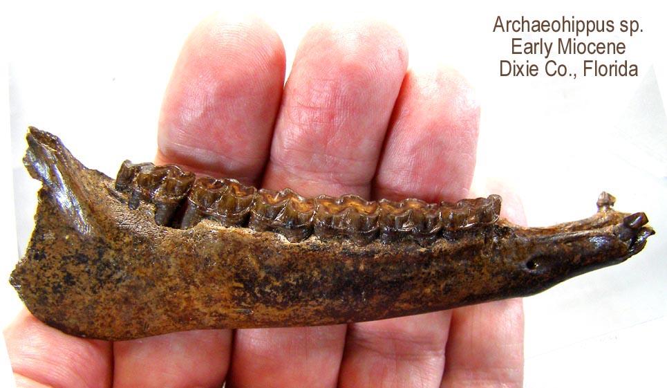 horse_archaeohippus_hand.JPG