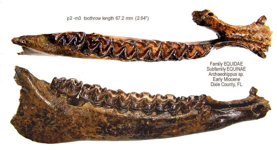 horse_archaeohippus_mandible.JPG