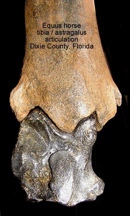 horseequustibiaastragalusB.JPG