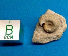Microconch
